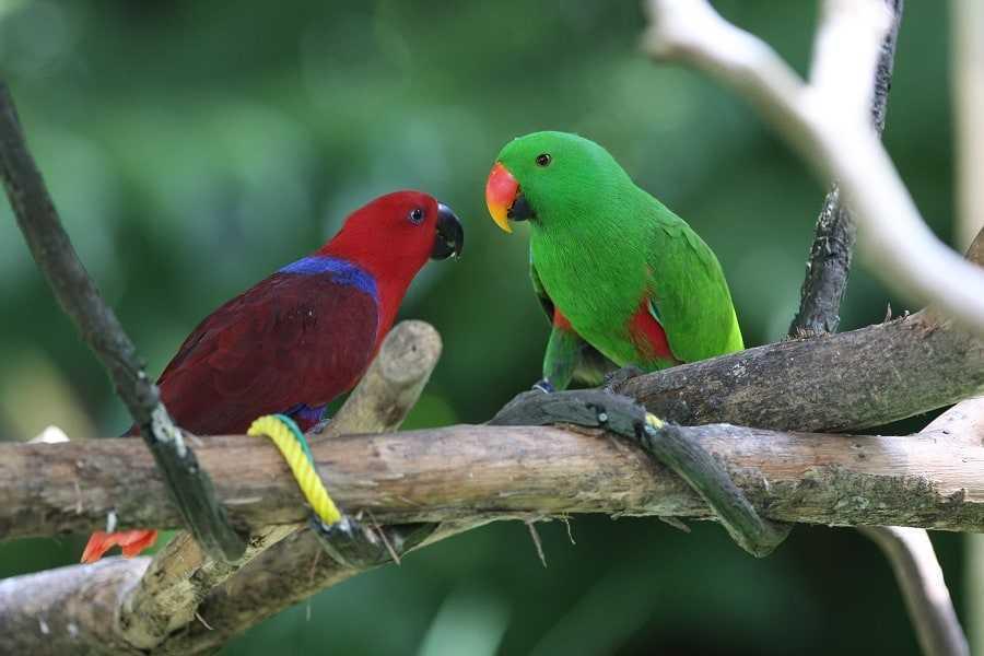 Eclectus_Parrot_(Eclectus_roratus)_-pair