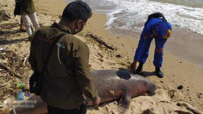 bangkai dugong