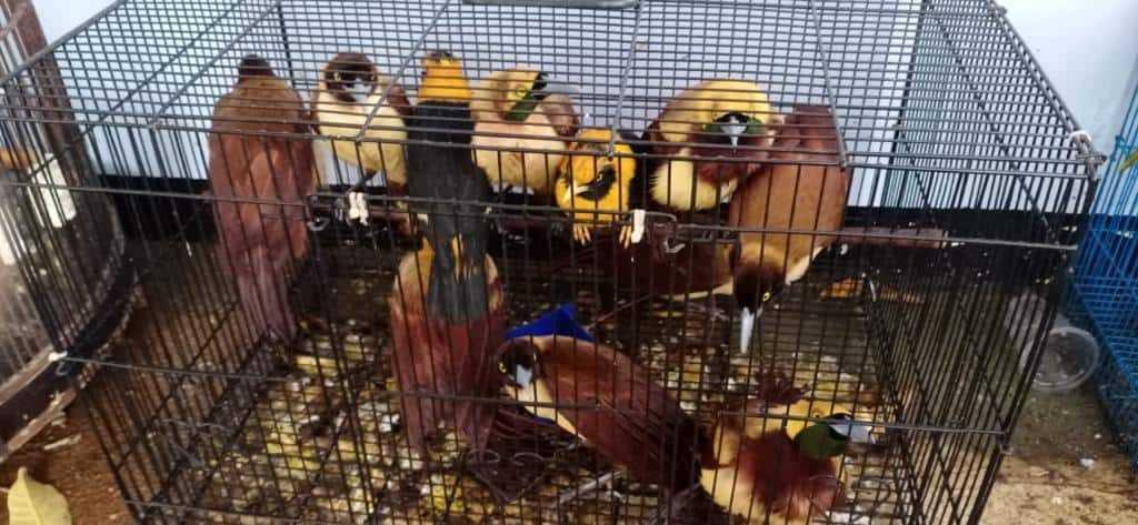 burung diselundupkan dari Papua