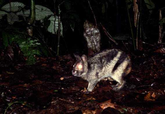 kelinci belang sumatera