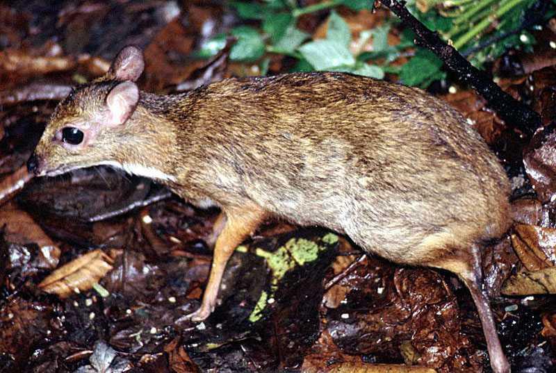 mouse-deer, SingaporeTragulus (napa)