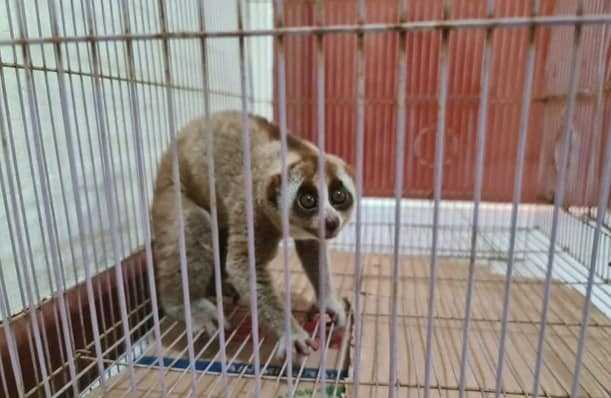 kukang di Riau