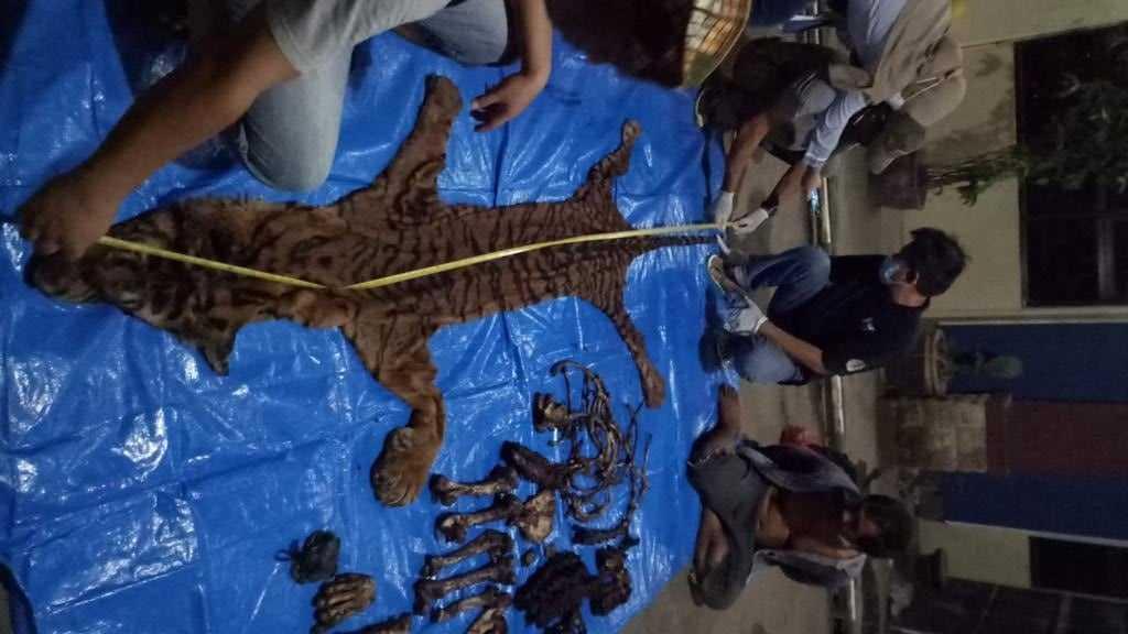 kulit dan tulang harimau sumatera