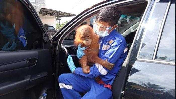 orangutan di Aceh