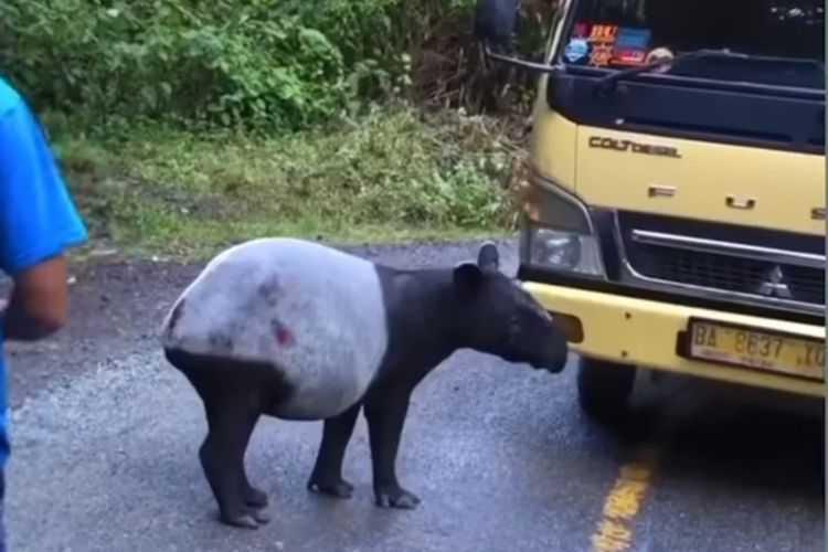 tapir yang viral