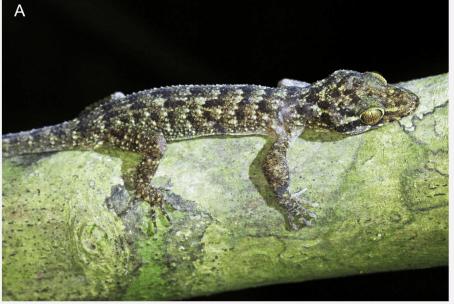 Gekkonidae baru
