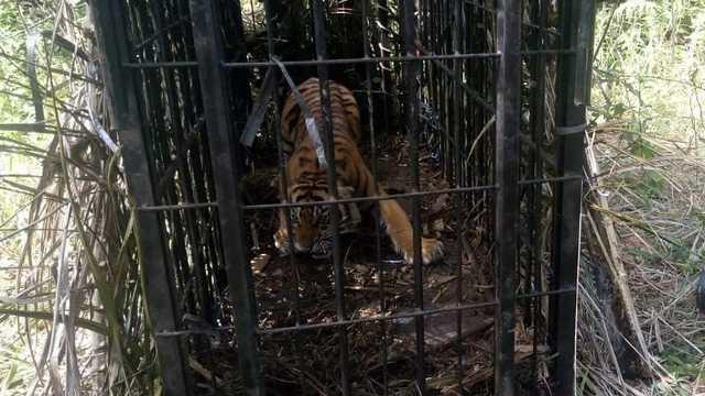 harimau di Pasaman Barat